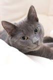 Gato gris lindo Foto de archivo libre de regalías
