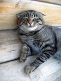 Gato gris lindo Imagenes de archivo