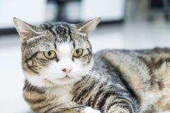 Gato gris lindo Fotografía de archivo