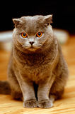 Gato gris lindo con mirada curiosa Imagenes de archivo