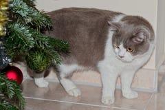 Gato gris lindo que mira las chucherías del árbol de navidad imagenes de archivo