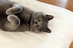 Gato gris lindo que se relaja Fotografía de archivo libre de regalías