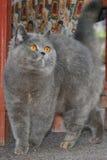 Gato gris lleno con una cola aumentada Imagenes de archivo