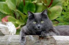 Gato gris Lounging Imagenes de archivo