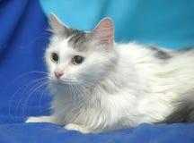 Gato gris mullido blanco Foto de archivo libre de regalías