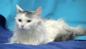 Gato gris mullido blanco Imágenes de archivo libres de regalías