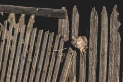 Gato gris mullido que se sienta en la cerca vieja fotografía de archivo libre de regalías