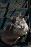 Gato gris, ojos verdes Fotografía de archivo libre de regalías