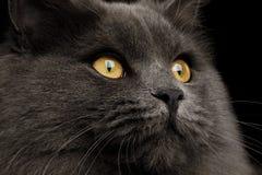 Gato gris peludo de la mezclado-raza en fondo negro aislado imagenes de archivo