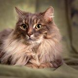 Gato gris peludo grande Foto de archivo