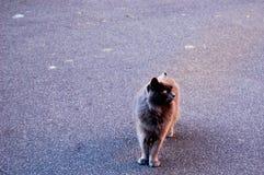 Gato gris que camina en la calle Imágenes de archivo libres de regalías