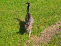 Gato gris que camina en la hierba, sombra del gato fotografía de archivo