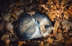 Gato gris que duerme en hojas de otoño imagen de archivo