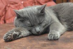 Gato gris que duerme en la tabla Foto de archivo