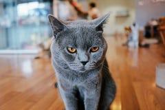 Gato gris que le mira Fotos de archivo libres de regalías