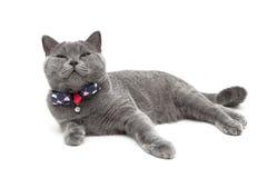 Gato gris que lleva un cuello con un arco aislado en un backgro blanco Imagenes de archivo