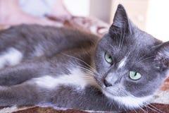 Gato gris que miente en el sofá Foto de archivo