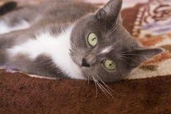 Gato gris que miente en el sofá Fotos de archivo libres de regalías