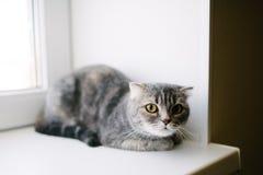 Gato gris que miente en el sofá en la casa fotografía de archivo libre de regalías