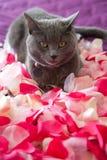 Gato gris que miente en los pétalos de rosas. Fotos de archivo