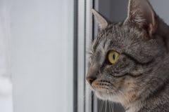 Gato gris que mira hacia fuera la ventana imagen de archivo
