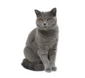 Gato gris que se sienta en un fondo blanco Foto de archivo