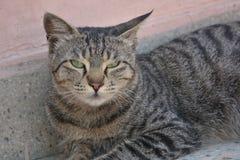 Gato gris que se sienta y que presenta para la cámara foto de archivo