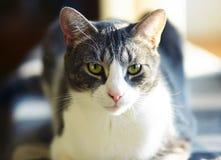 Gato gris rayado con mentiras de los ojos verdes imagenes de archivo