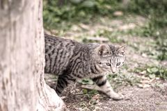 Gato gris rayado que se escabulle detrás de árbol en naturaleza en bosque verde foto de archivo libre de regalías