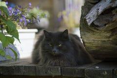 Gato gris serio con el retrato de los males de ojo Foto de archivo libre de regalías