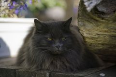 Gato gris serio con el retrato de los males de ojo Imagen de archivo libre de regalías