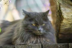 Gato gris serio con el retrato de los males de ojo Imágenes de archivo libres de regalías