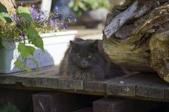 Gato gris serio con el retrato de los males de ojo Fotografía de archivo