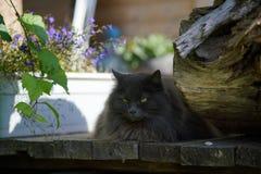 Gato gris serio con el retrato de los males de ojo Fotografía de archivo libre de regalías