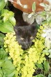 Gato gris serio con el retrato de los males de ojo Foto de archivo