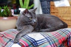 Gato gris sorprendido en la tela escocesa a cuadros Imágenes de archivo libres de regalías