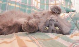 Gato gris travieso que toma el sol en la cama Patas de mentira del gato para arriba en tan Fotos de archivo
