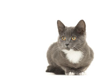 Gato gris y blanco Fotografía de archivo libre de regalías