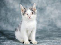 Gato gris y blanco del gatito Imagen de archivo