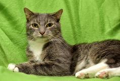 Gato gris y blanco en un verde Foto de archivo libre de regalías