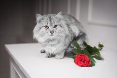 Gato gris y la rosa Imágenes de archivo libres de regalías