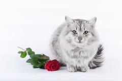 Gato gris y la rosa Fotos de archivo libres de regalías