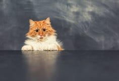 Gato grosero en la tabla negra Imagen de archivo libre de regalías