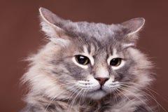 Gato gruñón divertido en estudio en fondo marrón Fotografía de archivo libre de regalías