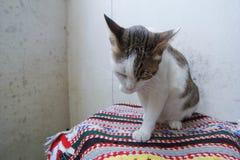 Gato híbrido Fotografia de Stock Royalty Free