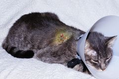 Gato herido Fotografía de archivo