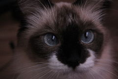 Gato hermoso Fotografía de archivo