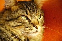 Gato hermoso Fotos de archivo libres de regalías