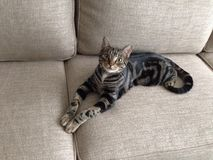 Gato hermoso Imagen de archivo libre de regalías