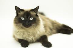 Gato hermoso aislado en un fondo blanco fotografía de archivo libre de regalías